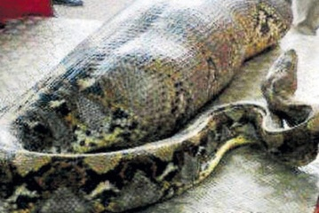 Indonezijoje didžiulis pitonas prarijo moterį
