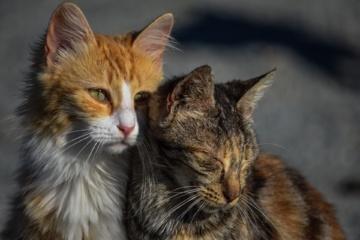 Bešeimininkių kačių kastracijos programa Širvintų mieste