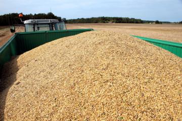 Grūdų derliaus šiemet tikimasi didesnio, bet iššūkių kelia lietingi orai