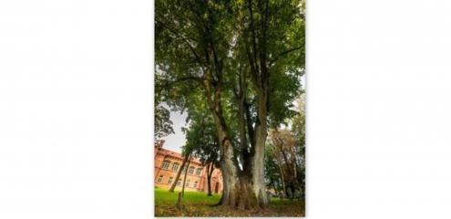 Metų medžiu išrinkta Jurbarko rajone auganti liepa – kas jos laukia Europos medžio rinkimuose?
