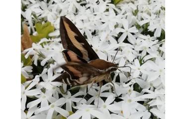 Kvapnus gėlių nektaras paviliojo retą egzotinį vabzdį