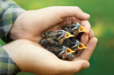 Į Lietuvą iš Baltarusijos atvežta 50 nykstančių meldinių nendrinukių jauniklių