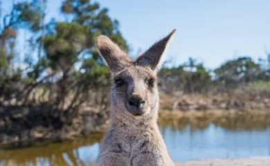 Rokiškio rajone iš ūkio pabėgo kengūra