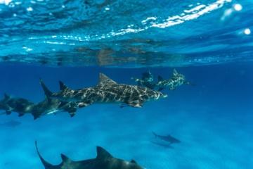 Šimtai ryklių ir rajų įsipainioja į plastiką