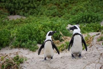 Berlyno zoologijos sode homoseksualūs pingvinai peri kiaušinį