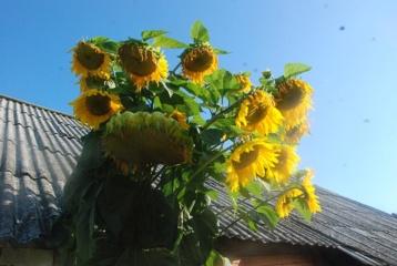 Daugiagalvė saulėgrąža
