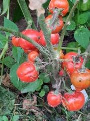 Mero darže – egzotiški pomidorai