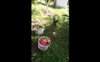 """Žaliųjų atliekų """"kelias"""" Jurbarke: kada pasenę obuoliai tampa trąša, o kada – teršalais?"""