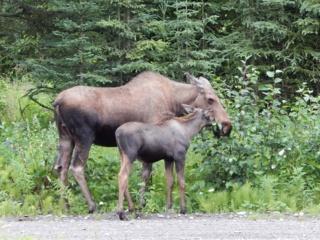 7 patarimai vairuotojams, kaip išvengti susidūrimo su laukiniais gyvūnais