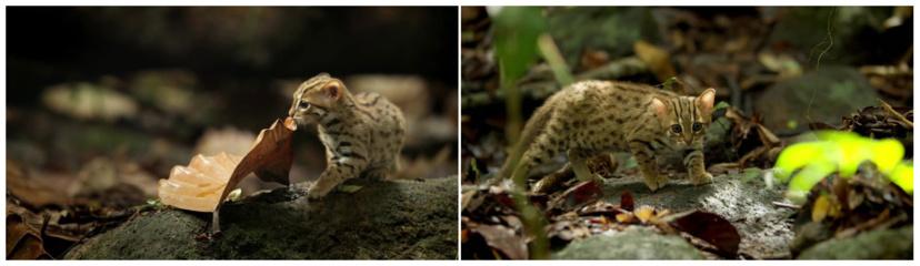 Mažiausia laukinė katė–  lyg mažytė leopardo versija