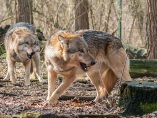 Šilta žiema trukdo vykdyti vilkų apskaitą