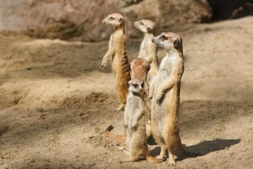 Įdomybės apie surikatas: jos turi akinius nuo saulės ir dar daugiau (vaizdo įrašas)