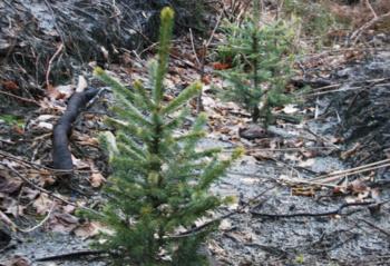 Miško sodinimo darbai artėja prie pabaigos