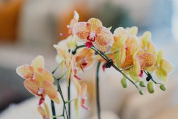Kaip namuose prižiūrėti orchidėjas, kad jos nenustotų žydėti?