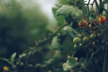 Sodininkų klaidos, kurios lemia prastą pomidorų derlių