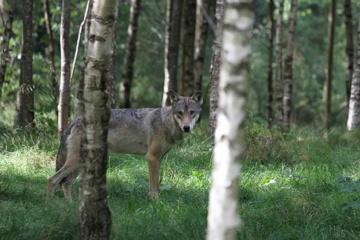 Ūkininkas iš Vainotiškės: gyvename vilkų irštvoje