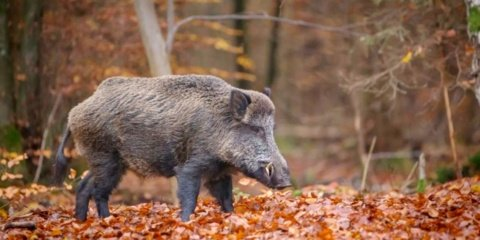 AKM virusą gali pernešti ir migruojantys šernai, ir miškų lankytojai