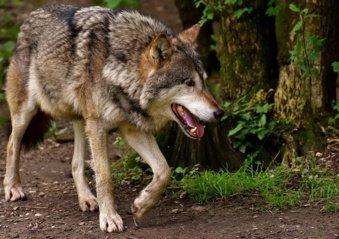Padažnėjus vilkų išpuoliams Eržvilko seniūnijoje – skirtingos medžiotojų ir gamtininkų pozicijos