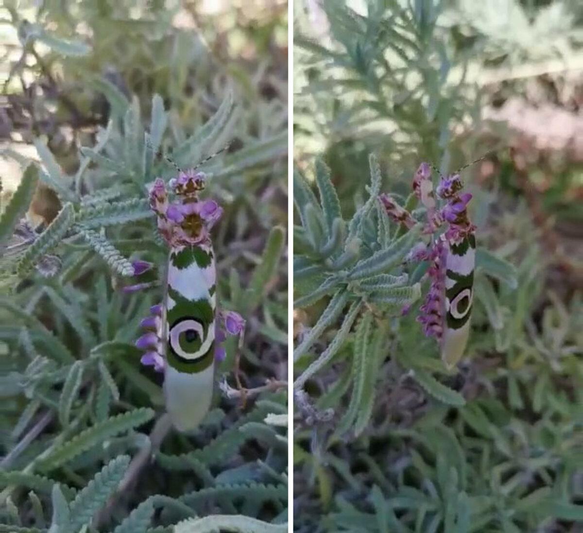 beautiful-flower-mantis-bug-margaret-nev
