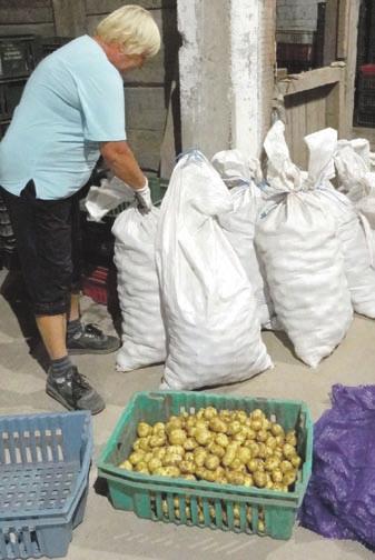 Naujasis bulvių derlius.