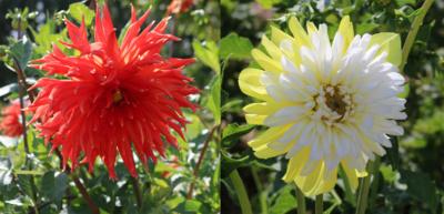 """Susipažinkite. Jei lankysitės ŠU Botanikos sode, nepraeikite pro jurginų skyrių. Ten jūsų laukia """"Šiauliai"""" (kairėje) ir """"Saulės miestas""""– aplankykite ir pasigrožėkite. (Autorės nuotr.)"""