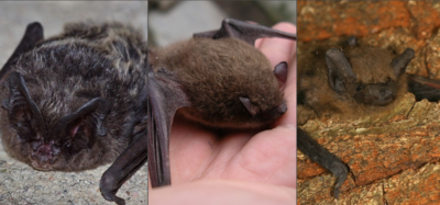 Miškinių šikšnosparnių rūšys. Etaplius.lt koliažas, Šikšnosparnių apsaugos Lietuvoje draugijos nuotraukos