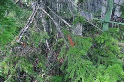 Nikulino kaime tremtinių kapai gausiai apaugę medžiais.