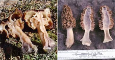 Kairėje – vaizdas perpjovus bobausį, dešinėje – vaizdas perpjovus briedžiuką