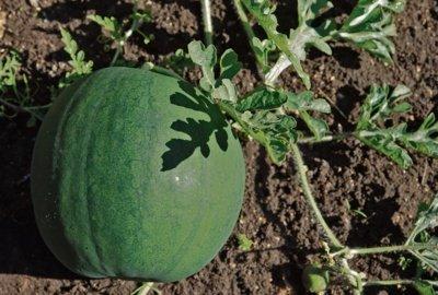 Lietuviški arbūzai savo dydžiu nenusileidžia atvežtiniams. Aidos GARASTAITĖS nuotrauka