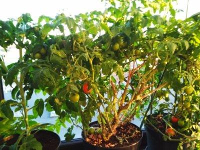 Taip atrodė pernai gegužę trečiametis namuose auginamas pomidoras, kuris net sumedėjo.