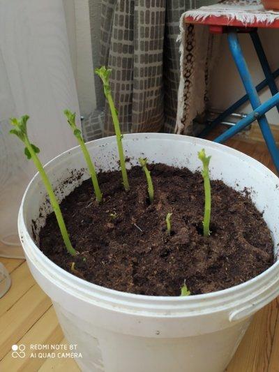 Bulvienojai auga kaip pašėlę. Kad tik greičiau atšiltų ir kibirą galėčiau įkurdinti gerovės balkone. (Autorės nuotr.)