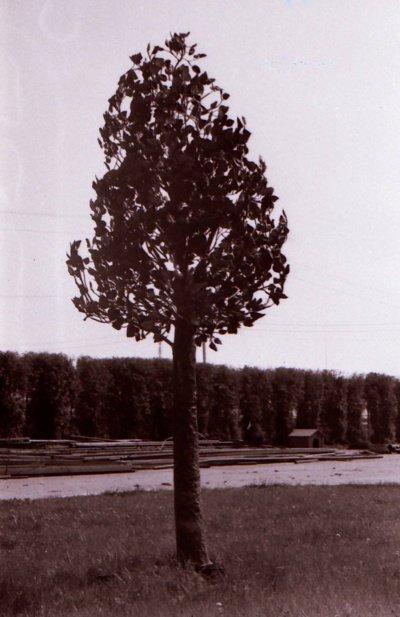 """Burbulų medis, atsitiktinai užfiksuotas fotoaparatu """"Zenitas"""". Aukštis – apie 5 m, apie 2000 lapų. Medelis neišskleistas, t. y. kelioninės būklės, todėl neišvaizdus. (Viliaus Purono asmeninio archyvo nuotr.)"""