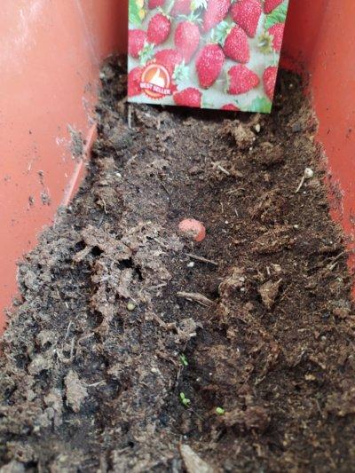 Nežinau, ar matote, bet čia – žemuogių daigeliai. Jau 10 sėklyčių trokšta užaugti ir sunokinti uogas. (Autorės nuotr.)