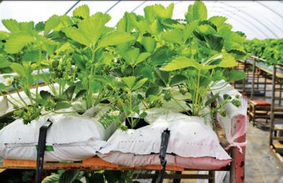 Braškių kereliai susodinti į baltus maišus su specialiai paruoštu substratu. Aidos GARASTAITĖS nuotraukos