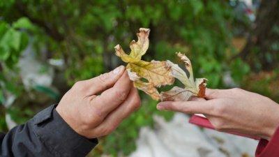Sidabrinis klevas – labai gudrus. Jis apverčia lapus per karščius, kad sidabrinė lapų dalis atspindėtų šviesą. (Audronio Rutkausko nuotr.)